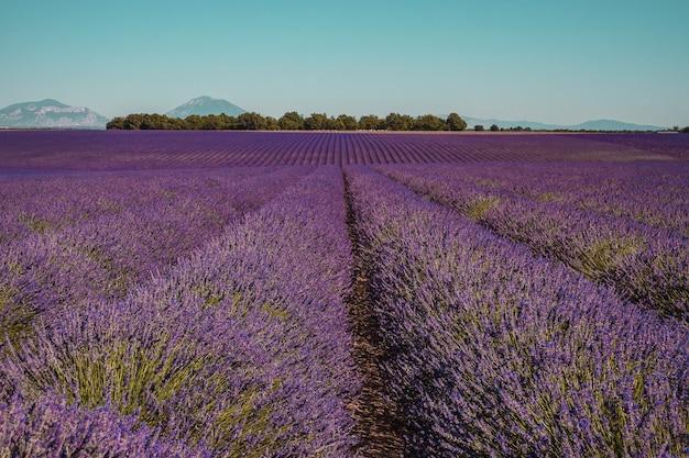 Lavendelvelden op een berg- en bosachtergrond in de provence frankrijk Premium Foto