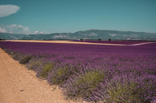 Lavendelvelden op een berg- en bosachtergrond in de provence frankrijk