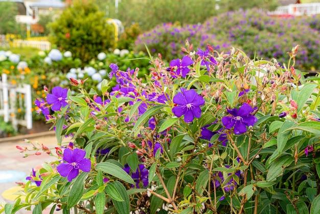Laziander sevenstamen lasiandra semidecandra tibouchina semidecandra in het park