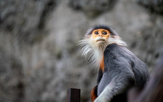 Leaf monkey macaque wildlife animal