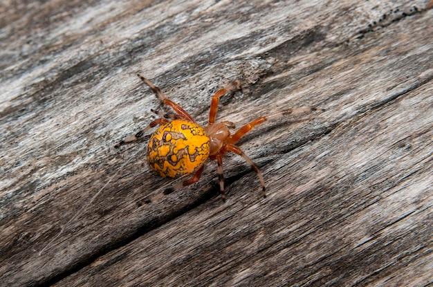 Leavenworth, kansas. gemarmerde orbweaver-spin, araneus marmoreus op een stuk hout in de herfst.