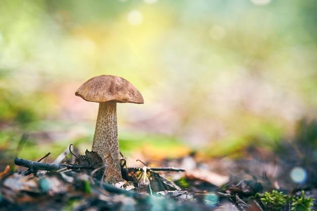 Leccinum versipelle paddenstoel. oranje berkenboleet in de herfstbos. seizoensgebonden verzameling eetbare paddenstoelen