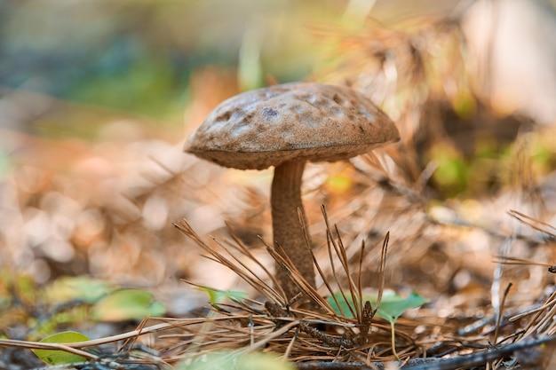 Leccinum versipelle paddestoel in herfst bos. oranje berkenboleet. eetbare gezonde maaltijd.