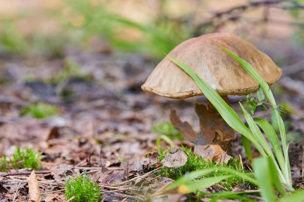 Leccinum versipelle-paddestoel. oranje berk bolete in de herfstbos. seizoensgebonden collectie eetbare paddestoelen