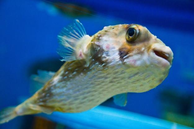 Leeggelopen kogelvis drijft in kristalblauw water