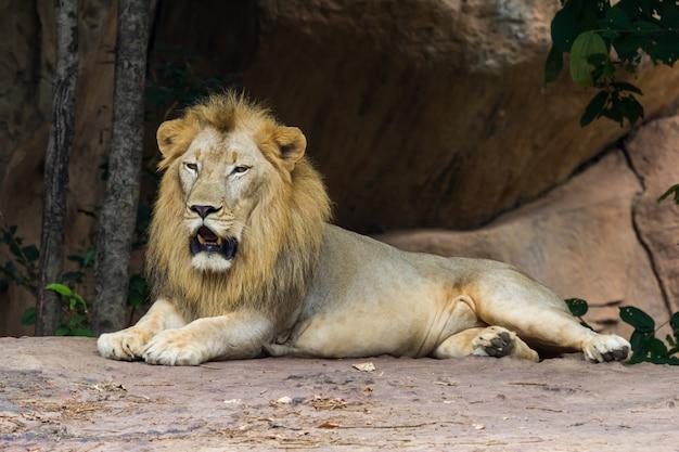 Leeuw die in de grot rust