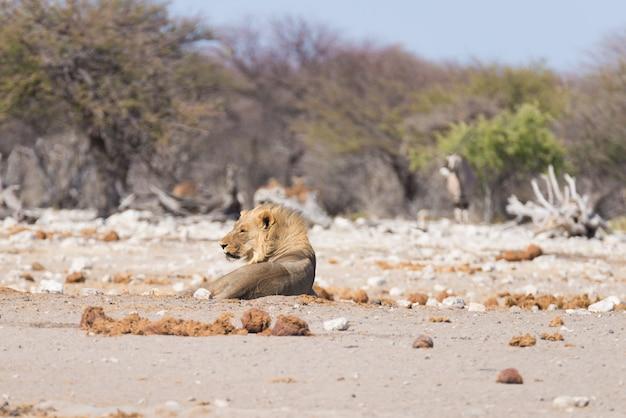 Leeuw die op de grond ligt. het wild in het nationale park van etosha, namibië, afrika.