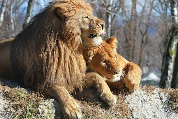 Leeuw en leeuwin in de safari dierentuin