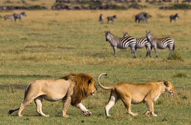 Leeuw en leeuwin ontmoeten elkaar in de savanne. nationaal park. kenia. tanzania. masai mara. serengeti.