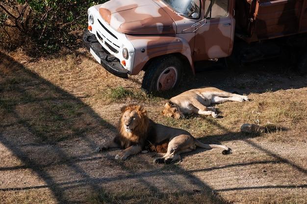 Leeuw en leeuwin