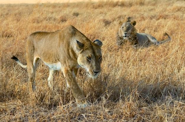 Leeuw en leeuwinpaar in savanne, afrika, het nationale park van masai mara in kenia