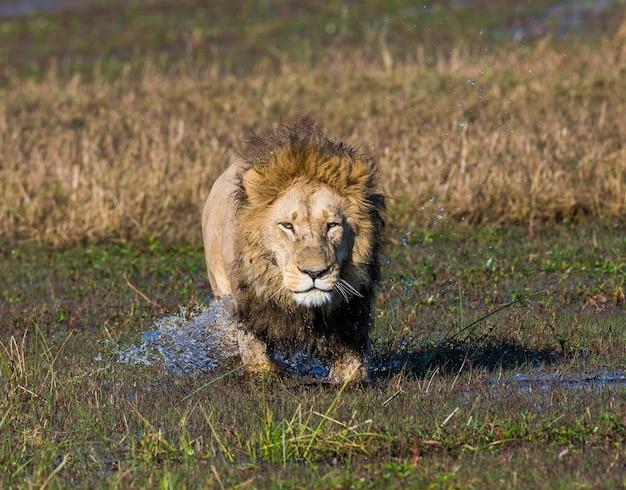 Leeuw gaat door het moeras