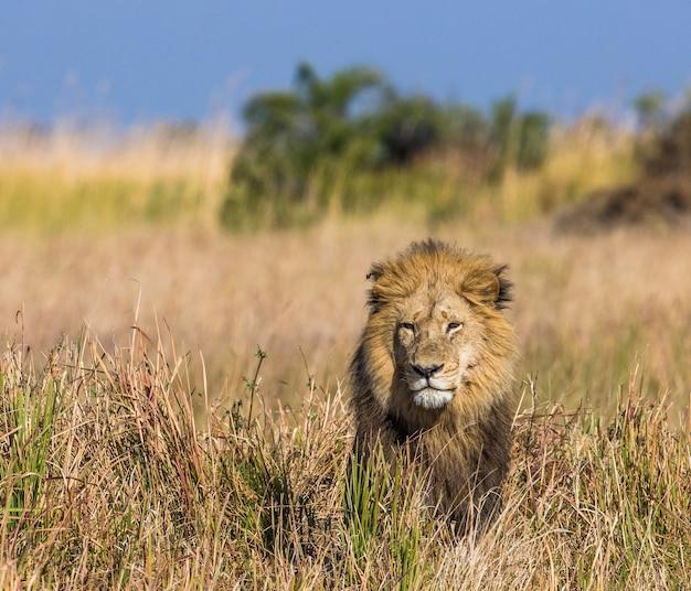 Leeuw in het gras