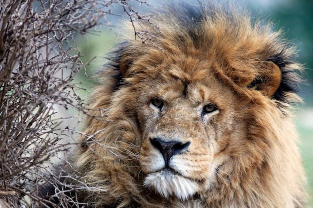 Leeuw in selva