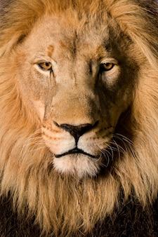 Leeuw, panthera-leo op een geïsoleerd wit