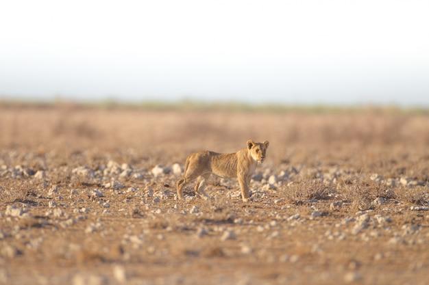 Leeuw staande in een leeg veld