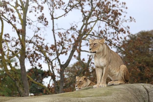 Leeuw zit op steen.