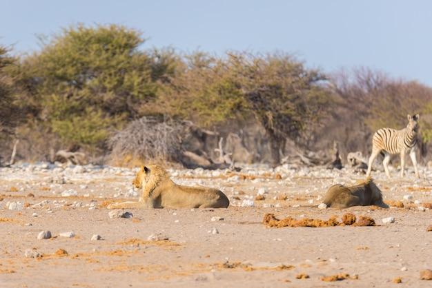 Leeuwen die op de grond liggen.