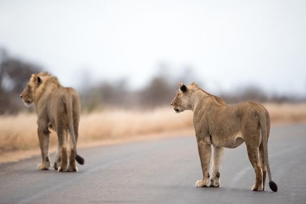 Leeuwen die op de weg lopen