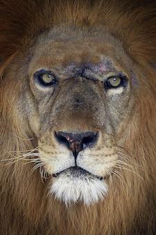 Leeuwenkoning close-up portret gezicht van leeuwenkoning