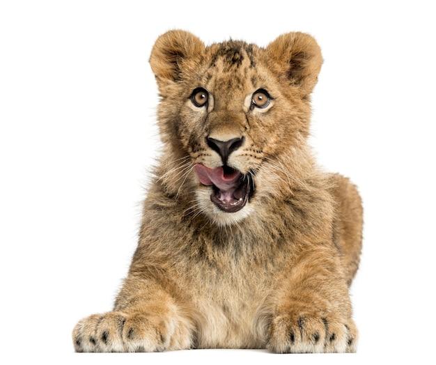 Leeuwenwelp liegen en gretig kijken