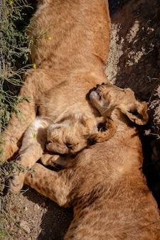 Leeuwenwelpen slapen op de grond. hun hoofden zijn kers op de top van elkaar. taigan-park