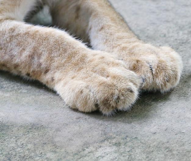 Leeuwenwelpen voet