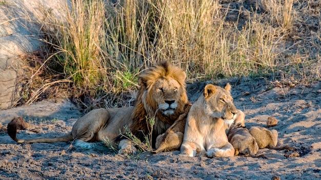 Leeuwfamilie die samen op de grond liggen