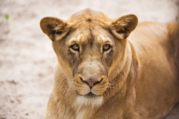 Leeuwin close-up portret, gezicht van een vrouwelijke leeuw