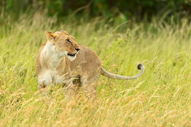 Leeuwin die met haar vijf welpen door de masai mara in kenia loopt