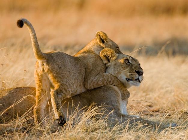 Leeuwin en haar welpen spelen met elkaar in de savanne. nationaal park. kenia. tanzania. masai mara. serengeti.