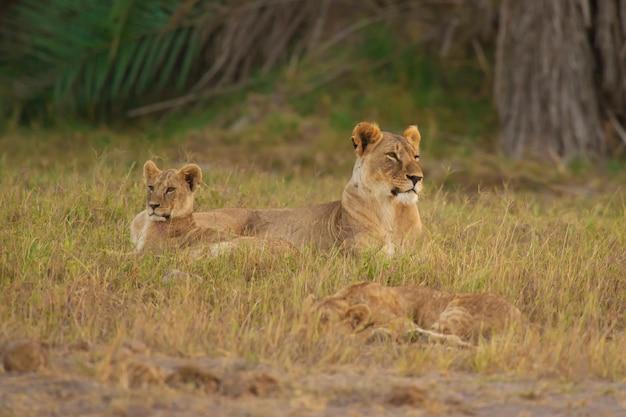 Leeuwin en zijn welp in de savanne
