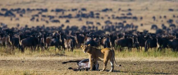 Leeuwin heeft gnoes gedood