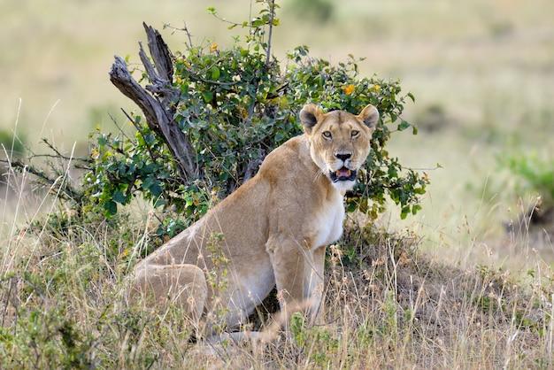 Leeuwin in de savanne