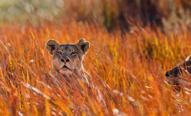 Leeuwin in het gras