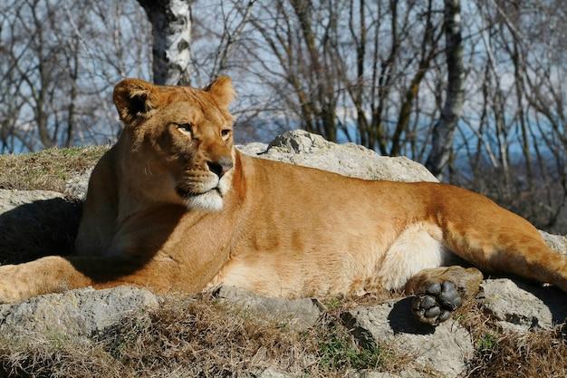 Leeuwin op dierentuinsafari