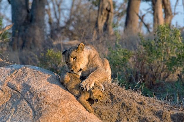 Leeuwin speelt met haar welp