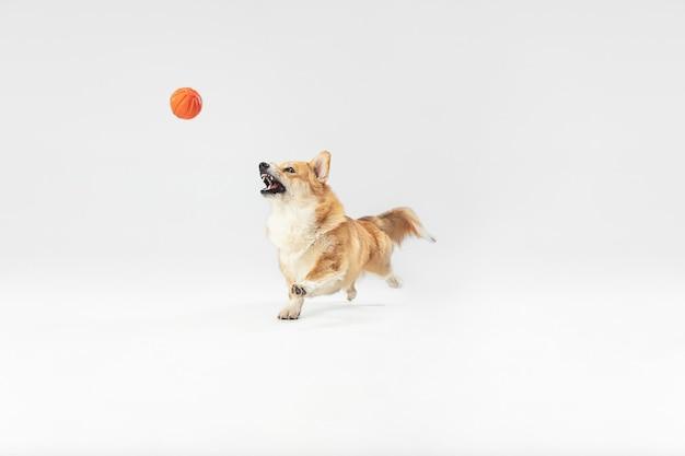 Leg dat moment vast. welsh corgi pembroke puppy in beweging. het leuke pluizige hondje of het huisdier speelt geïsoleerd op witte achtergrond. studio fotoshot. negatieve ruimte om uw tekst of afbeelding in te voegen.