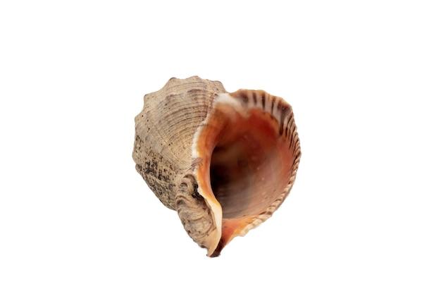 Lege zeeschelp, geïsoleerd op een witte achtergrond, mariene schelp close-up, bruine clam shell