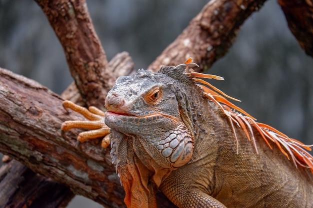 Leguaan die op boomachtergrond legt