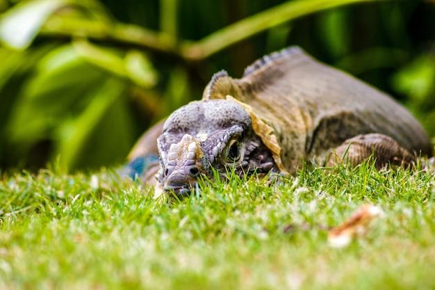 Leguaan neergestreken in het groene gras in dominica republiek