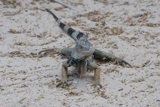 Leguaan zittend op een zandstrand met een gestreepte staart.