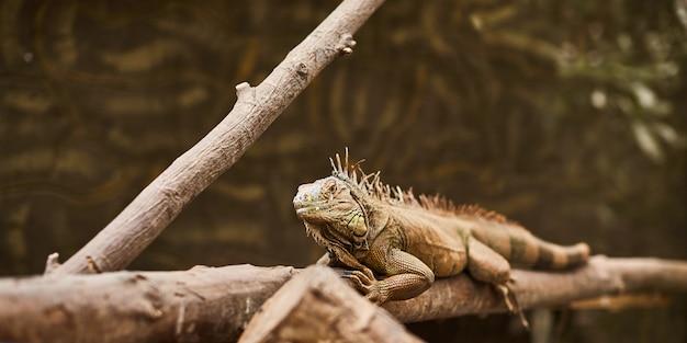 Leguaanhagedis die door de takken in de dierentuin kruipen