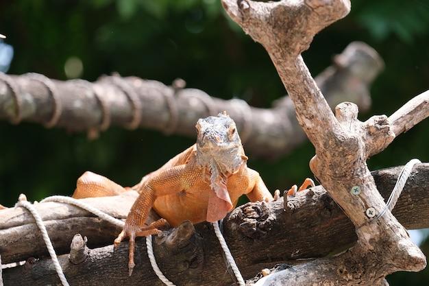 Leguanen zijn geslachten van hagedissen die in de tropen van midden-amerika, zuid-amerika en de caribische eilanden leven. rode leguaan, onscherpe achtergrond