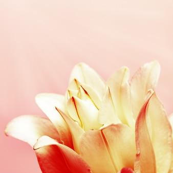 Leliebloem close-up bloemblaadjes van pioenlelie op roze met daglicht natuurlijke bloemenachtergrond
