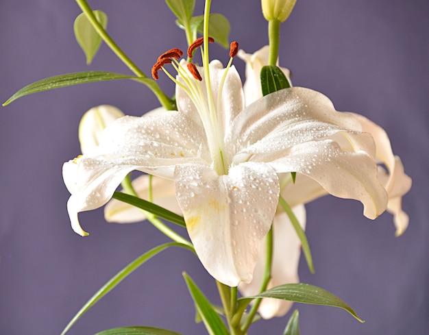 Leliebloem in bloei met stampers en witte bloemblaadjes die op een blauwe achtergrond worden geïsoleerd