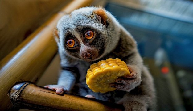 Lemur close-up, slow loris close-up, slow loris eten