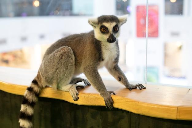 Lemur zit op een houten oppervlak. ringstaartmaki, ringstaartmaki, catta-zoogdieren.