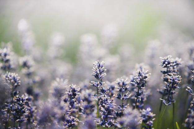 Lente achtergrond mooie paarse wilde bloemen
