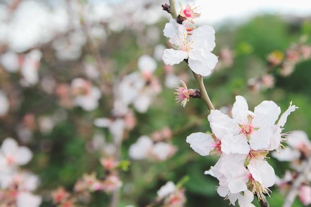 Lente amandelen bloeit tak